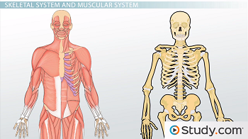Skeletal system and muscular system video lesson transcript human muscular and skeletal systems ccuart Images