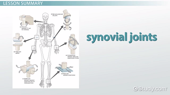 Skeleton with examples of the six synovial joints