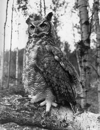 Great Horned Owl Facts Lesson For Kids Study Com