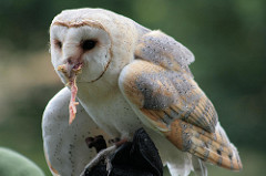 Barn Owl Facts: Lesson for Kids | Study.com