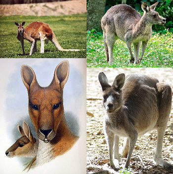 Kangaroo Facts Lesson For Kids