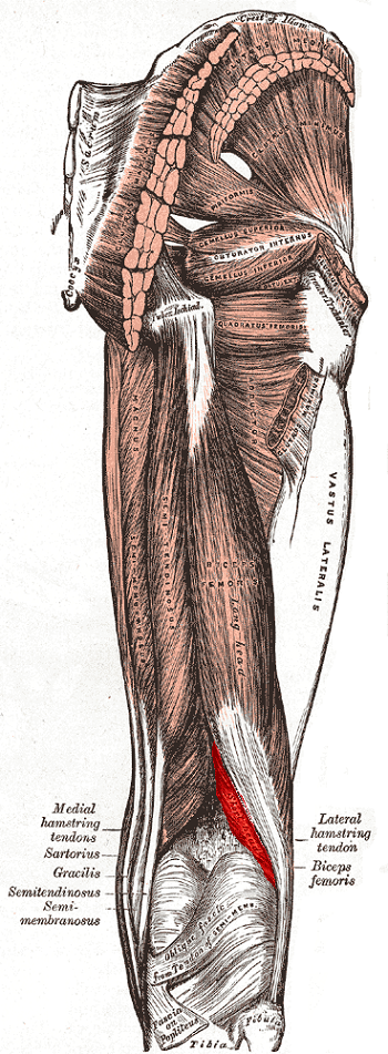 Biceps Femoris Muscle: Anatomy, Location & Function | Study.com