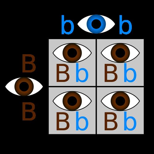 Punnett Square: Definition & Example - Video & Lesson Transcript ...