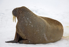 Walrus with Reddish Brown Skin and Tusks