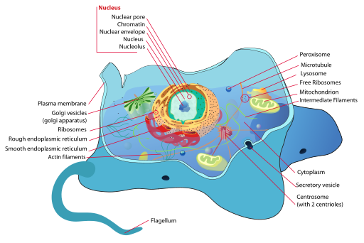 Organelles in cells definition functions video lesson each one of these cells functions as a tiny factory with individual parts that work together to keep the cell alive and in turn keep the organism going ccuart Choice Image