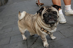 Tan Pug with Black Face