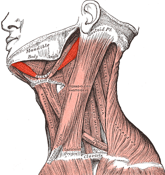 Digastric Muscle: Definition, Function & Innervation   Study.com