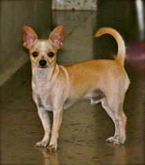 Tan Chihuahua with its tail arched over its back
