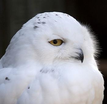 Snowy Owl Habitat: Lesson for Kids   Study.com
