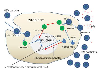 Hepatitis B Virus Structure And Function Study