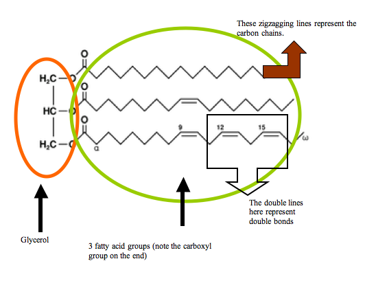 quiz worksheet function structure of fats. Black Bedroom Furniture Sets. Home Design Ideas