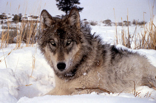 information of wolf in hindi