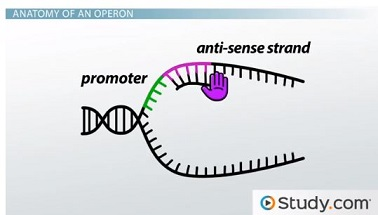 RNA polymerase and promoter