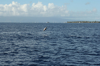 Spinner dolphin in the air