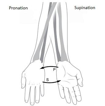 Brachioradialis Muscle: Definition, Function & Nerve   Study.com