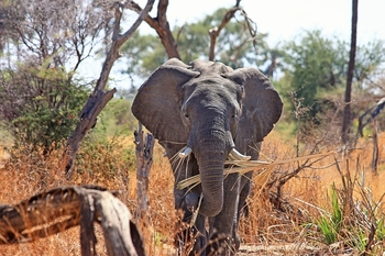 what is africa elephants diet