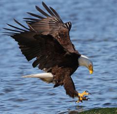 Bald Eagles Habitat Lesson for Kids Studycom
