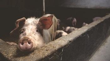 Pig Farming Facts: Lesson for Kids | Study com