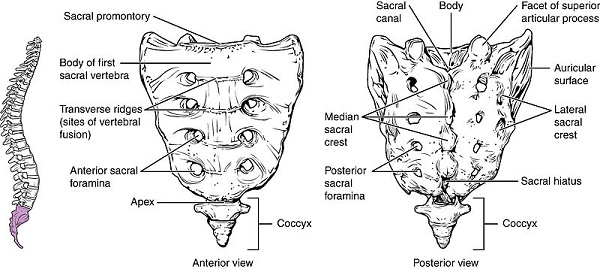 what is a sacrum