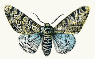 drawing of the light morph of the peppered moth - Simulation Coloration
