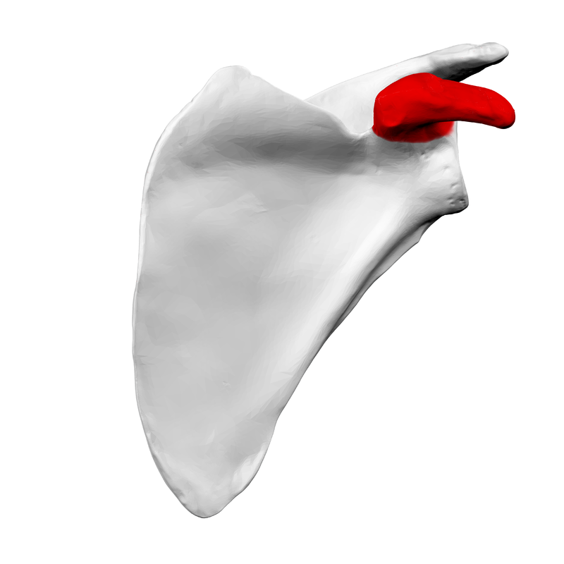 The coracoid process of the left scapula