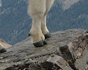 Mountain Goat Facts: Lesson for Kids | Study com