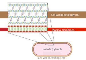 Bacteria cell walls respiration study cell wall structure ccuart Image collections