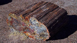 An image of petrified wood.