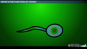 Informations for sperm cell photo 916