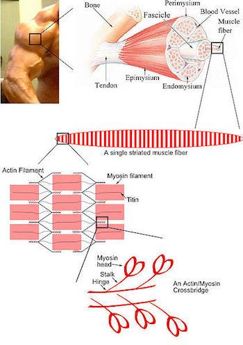 Skeletal Muscle Labeled Diagram Filaments: Defi...