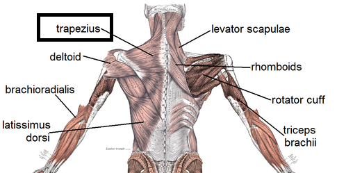 Flashcards Back Muscles List Flashcards Study