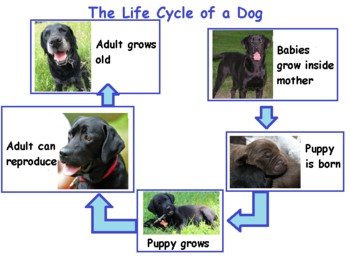 Comparing Life Cycles Of Mammals Lesson For Kids Study Com