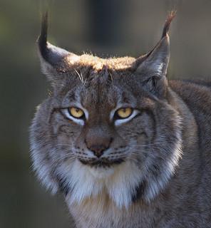 lynx adaptations lesson for kids study com