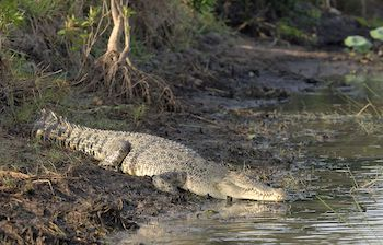 Crocodile on a river bank