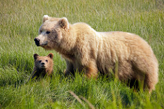 Brown Bear Mom and Cub