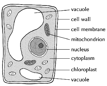 Diagram of a plant cell showing the nucleus