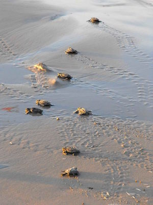 baby green sea turtles