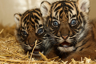 Tiger Cub Facts: Lesson for Kids | Study com