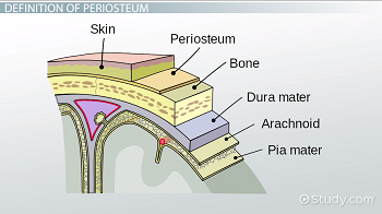 Cross-section of a bone