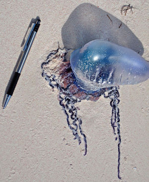 Blue Bottle Jellyfish Adaptations Facts Habitat
