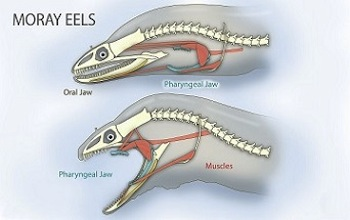 adaptation analysis of jaws A feeding adaptation of the jaw articulation in new world jays  an analysis of hypothetical forces on the jaw artic-  adaptation in new world jays 667.