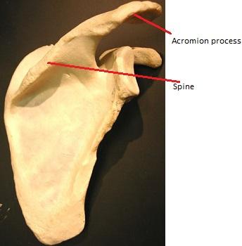 Deltoid Muscle: Origin, Insertion & Action | Study.com