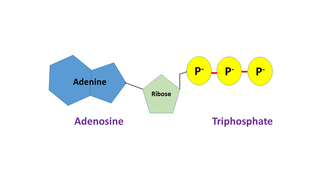 what is adenosine triphosphate? - definition, function & structure