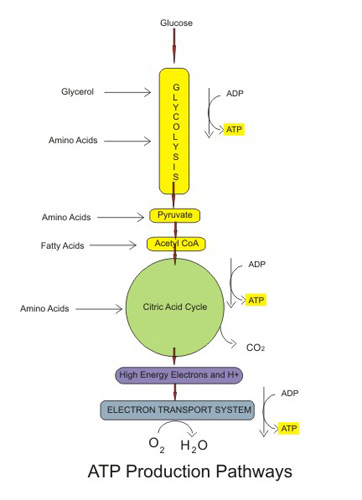 Does aerobic or anaerobic respiration produce a larger amount of energy?