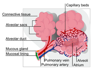 what is pulmonary edema? - definition, causes, symptoms ...  #3
