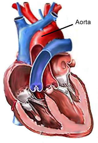 The Aorta: Valves & Anatomy | Study.com