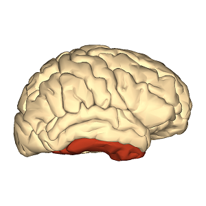 An image of the forebrain.