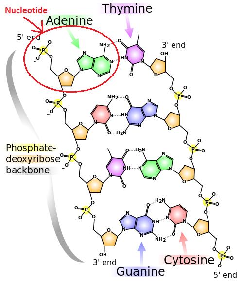 Nucleic Acids: Function & Structure - Video & Lesson Transcript ...