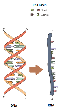 DNA to RNA split