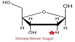 deoxyribose vs ribose - photo #33